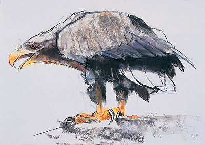 Eagle Drawing - White Tailed Sea Eagle by Mark Adlington