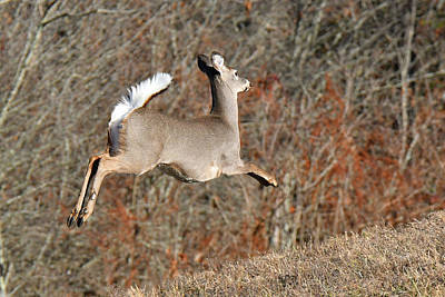 Photograph - White-tailed Take Off by Alan Lenk