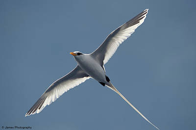Photograph - White-tailed Tropicbird by James Petersen