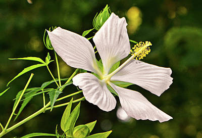 Photograph - White Texas Star Hibiscus 003 by George Bostian