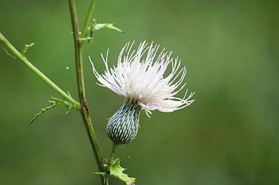 White Thistle Flower Original