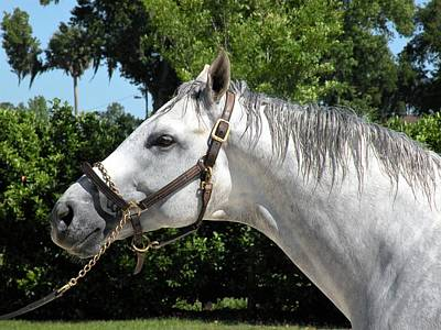 Photograph - White Thoroughbred by Kim Bemis
