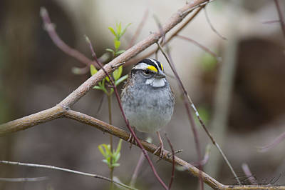 Photograph - White Throat by Steven Wilson