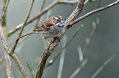 White Throated A Sparrow Art Print by Laura Mountainspring