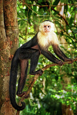 Photograph - White-throated Capuchin Monkey by Carolyn Derstine