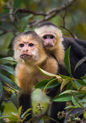 Capuchin Photograph - White-throated Capuchin Monkeys Cebus by Panoramic Images