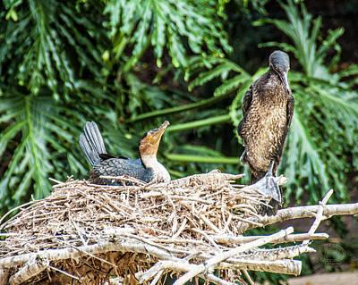 Photograph - White Throated Cormorant by Daniel Hebard