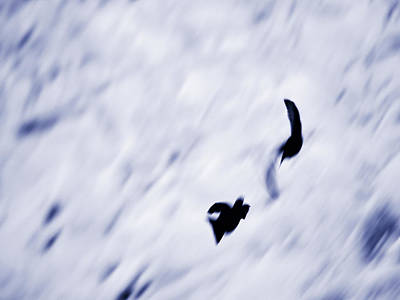 Photograph - White-throated Dipper Shadows by Jouko Lehto