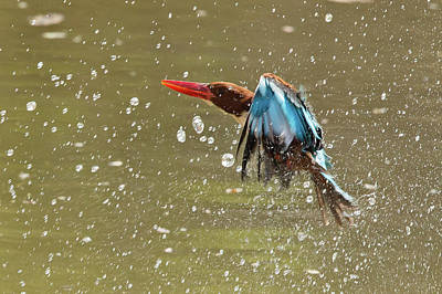 Photograph - White-throated Kingfisher by Jean-Luc Baron