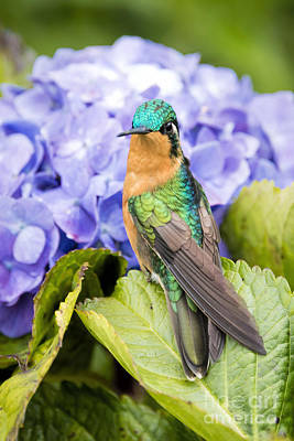 Hummingbird Photograph - White Throated Mountaingem On A Hydrangea by Oscar Gutierrez