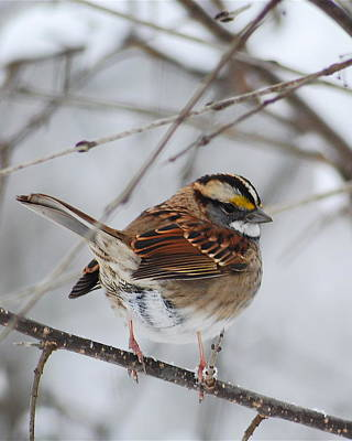 White-throated Sparrow Photograph - White Throated Sparrow 2 by Michael Peychich