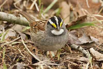 Photograph - White-throated Sparrow 3454 by Michael Peychich