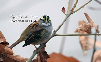Photograph - White Throated Sparrow 9835 by Captain Debbie Ritter