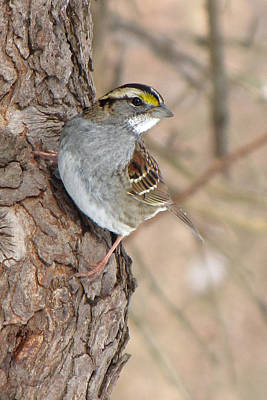White-throated Sparrow Photograph - White-throated Sparrow by Ann Bridges