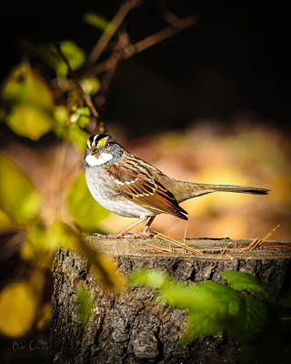 Photograph - White Throated Sparrow by Bob Orsillo