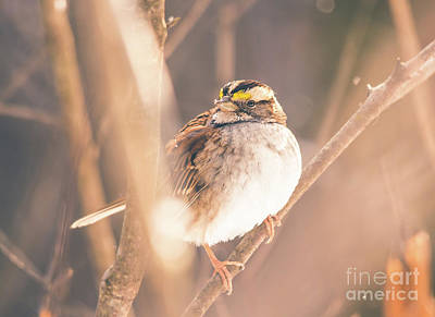 Photograph - White Throated Sparrow by Cheryl Baxter
