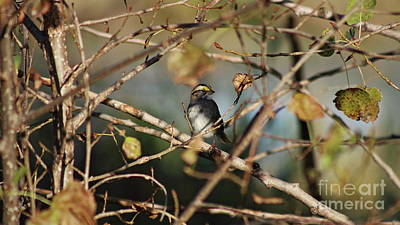 Photograph - White Throated Sparrow by Erick Schmidt