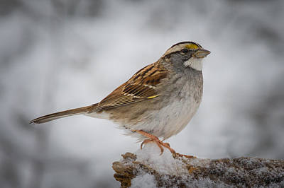 Photograph - White-throated Sparrow by Kenneth Cole