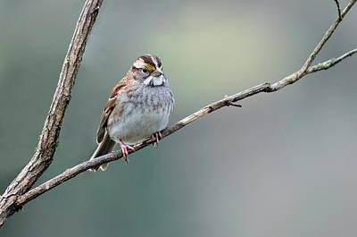 White-throated Sparrow Photograph - White Throated Sparrow by Laura Mountainspring