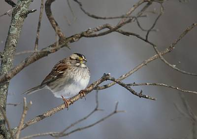 Photograph - White-throated Sparrow by Living Color Photography Lorraine Lynch