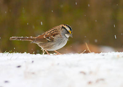 Photograph - White-throated Sparrow by Melinda Fawver