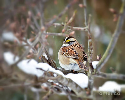 Photograph - White-throated Sparrow On Snowy Branches by Kerri Farley