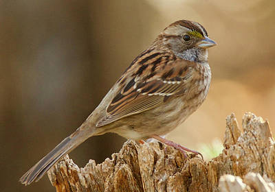 Photograph - White-throated Sparrow Tan-striped 4329 by Michael Peychich