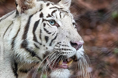 Photograph - White Tiger 1 by Nadia Sanowar