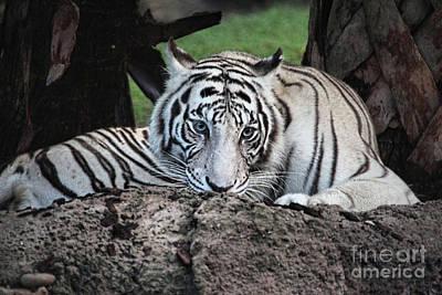 Photograph - White Tiger 10 by Randy Matthews
