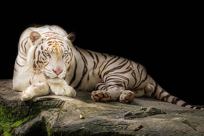 Animals Photograph - White Tiger 110 by Jijo George