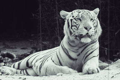 Wildlife Photograph - White Tiger 16 by Jijo George
