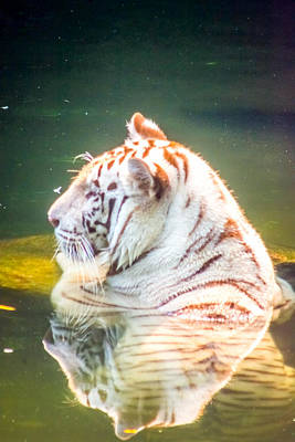 Wildlife Photograph - White Tiger 5 by Jijo George
