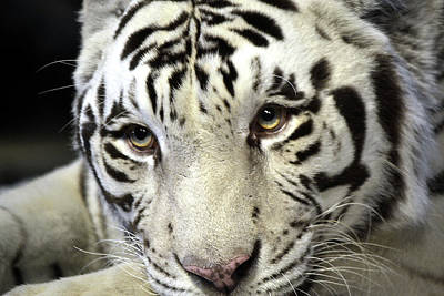 Photograph - White Tiger At Rest by Nadalyn Larsen