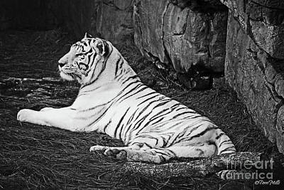 Photograph - White Tiger Black-white by Terri Mills