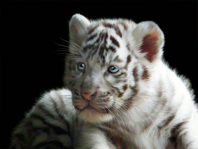 Tiger Cub Digital Art - White Tiger Cub by Julie L Hoddinott