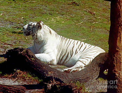 Photograph - White - Tiger by D Hackett