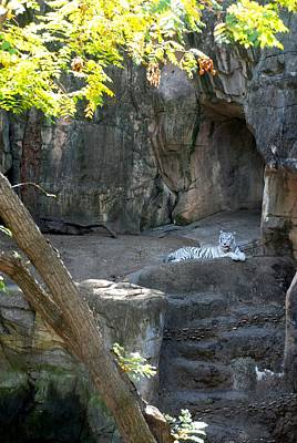 Photograph - White Tiger Domain by Kenny Glover