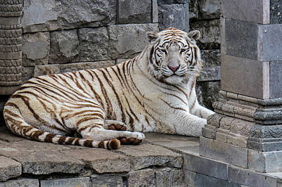 Photograph - White Tiger In India by Arterra Picture Library