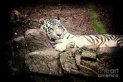 Photograph - White Tiger by Inspirational Photo Creations Audrey Taylor