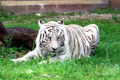 Photograph - White Tiger by John Rizzuto