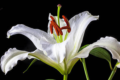 Floral Photograph - White Tiger Lily Still Life by Garry Gay