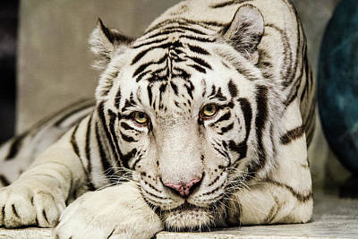 White Tiger Looking At You Art Print