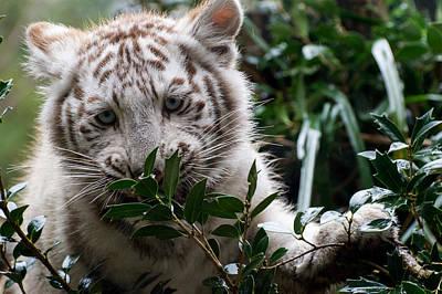 Animals Digital Art - White Tiger by Maye Loeser