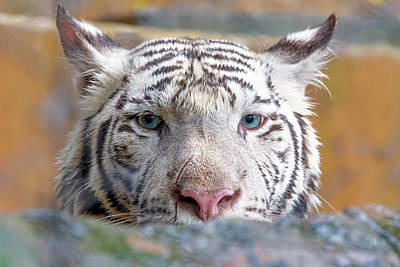 Photograph - White Tiger by Nadia Sanowar