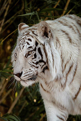 Photograph - White Tiger Portrait 2 by Teresa Wilson