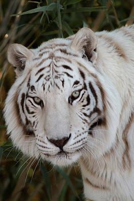 Animals Photos - White Tiger Portrait by Teresa Wilson