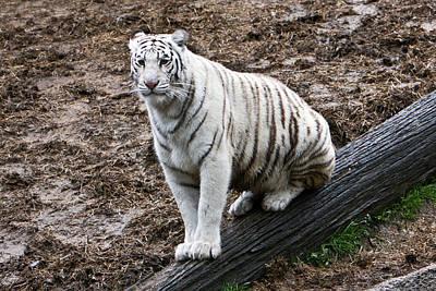 Photograph - White Tiger Posing by Douglas Barnett