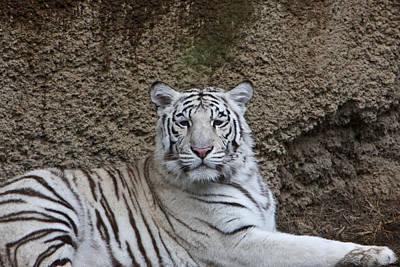 Photograph - White Tiger Resting by Douglas Barnett
