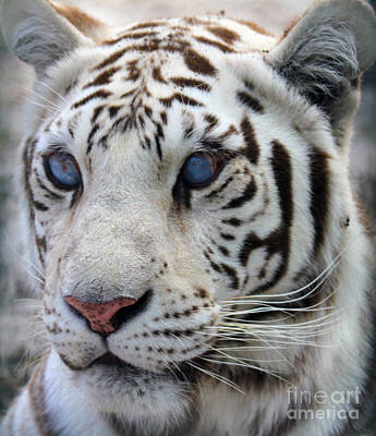 Photograph - White Tiger by Roger Becker