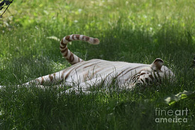 Photograph - White Tiger Swinging His Tail As He Rests In Grass by DejaVu Designs